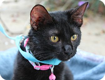 Domestic Shorthair Kitten for adoption in Ocean Springs, Mississippi - Bon Bon