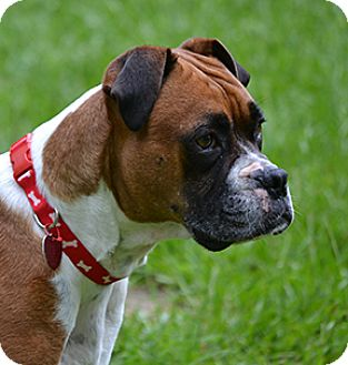 Boxer Dog for adoption in Wilmington, North Carolina - Anna