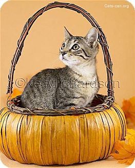 Domestic Shorthair Kitten for adoption in Oviedo, Florida - Huxley