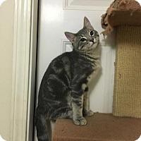 American Shorthair Cat for adoption in Hammond, Louisiana - Greg