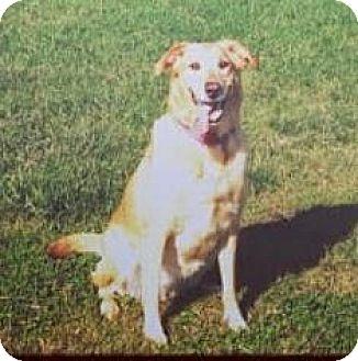 Golden Retriever/Labrador Retriever Mix Dog for adoption in Richmond, Virginia - Patty