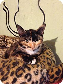 Calico Kitten for adoption in Bridgeton, Missouri - Napolitan