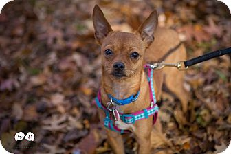 Chihuahua/Terrier (Unknown Type, Small) Mix Puppy for adoption in Verona, New Jersey - Ziggy Stardust