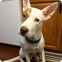 Adopt A Pet :: Gotti - Detroit, MI