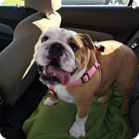 english bulldog rescue ohio columbus oh english bulldog meet daisy 3 a dog for 8793