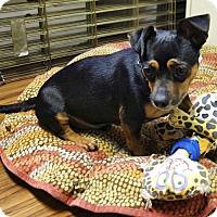 Adopt A Pet :: Huey - Arlington, VA