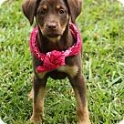 Adopt A Pet :: Felicia