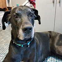 Great Dane Dog for adoption in Broomfield, Colorado - Dan