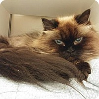 Himalayan Cat for adoption in Templeton, Massachusetts - Shy