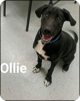 Labrador Retriever Mix Dog for adoption in Ottumwa, Iowa - Ollie