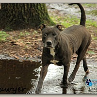 Adopt A Pet :: Sawyer - Sarasota, FL