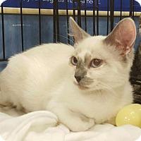 Adopt A Pet :: Sahara - Knoxville, TN