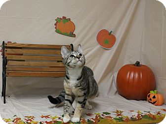 Domestic Shorthair Cat for adoption in Stockton, California - Ciinderella