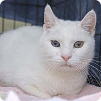Domestic Shorthair Cat for adoption in Merrifield, Virginia - Blanche