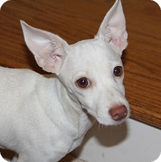 Labrador Retriever/Chihuahua Mix Puppy for adoption in Mt. Prospect, Illinois - Victory