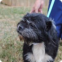 Shih Tzu/Schnauzer (Miniature) Mix Dog for adoption in Spring Valley, New York - Eli (ETAA)