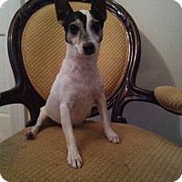 Adopt A Pet :: Jack - Gaithersburg, MD