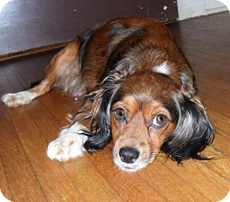 Cavalier King Charles Spaniel/Silky Terrier Mix Dog for adoption in Hamburg, Pennsylvania - Lady Bug