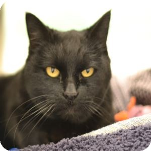 Domestic Shorthair Cat for adoption in Gilbert, Arizona - Ebony