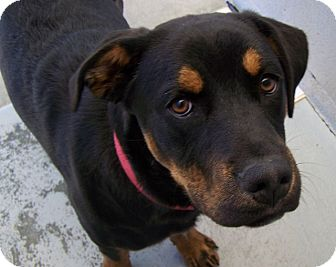 Rottweiler Mix Puppy for adoption in Grants Pass, Oregon - Noel