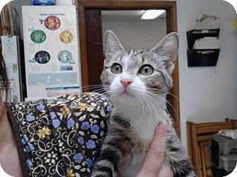 Domestic Mediumhair Cat for adoption in West Columbia, South Carolina - Chipmunk