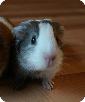 Guinea Pig for adoption in Brooklyn Park, Minnesota - Toby