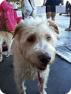 Labradoodle Mix Dog for adoption in San Diego, California - Leo