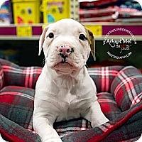 Adopt A Pet :: Pup 4 - Mesa, AZ