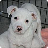 Adopt A Pet :: Munchkin - Mesa, AZ