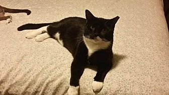 Domestic Mediumhair Cat for adoption in St. Cloud, Florida - Piglet