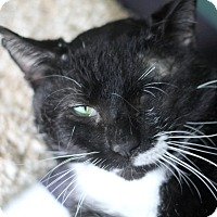 Adopt A Pet :: Sylvester Stone - Chicago, IL