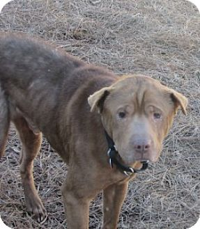 Shar Pei Mix Dog for adoption in Gainesville, Florida - Amos