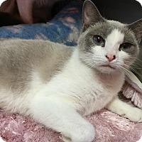 Siamese Cat for adoption in Topeka, Kansas - Kenya