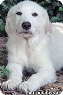 Great Pyrenees Mix Puppy for adoption in Beacon, New York - Spud - pup!