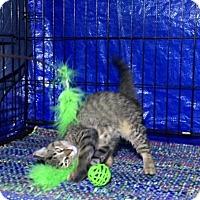 Adopt A Pet :: Tigger - Charlotte, MI