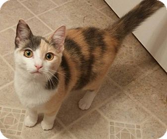 Domestic Shorthair Cat for adoption in Swansea, Massachusetts - Luna