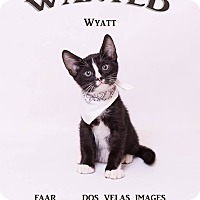 Domestic Shorthair Kitten for adoption in Riverside, California - Wyatt Earp