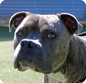 Pit Bull Terrier Mix Dog for adoption in Asheville, North Carolina - Chevy