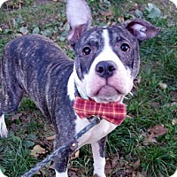 American Pit Bull Terrier Mix Puppy for adoption in Ridgefield, Connecticut - Bubba