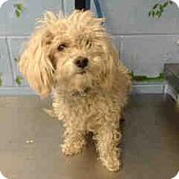 Miniature Poodle Mix Dog for adoption in San Bernardino, California - URGENT ON 12/6  San Bernardino