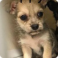 Adopt A Pet :: Puppy1 - Spring, TX