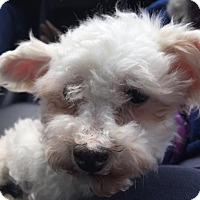 Adopt A Pet :: Bunny - Woodinville, WA