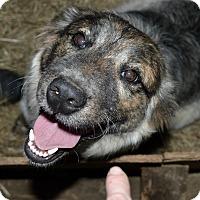 Adopt A Pet :: Gretel - Manchester, NH