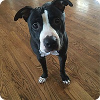 Adopt A Pet :: Murray - ADOPTION PENDING - Warrenville, IL
