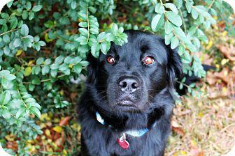 Retriever (Unknown Type)/Golden Retriever Mix Dog for adoption in Greensboro, Georgia - Enzo- Adopted!!