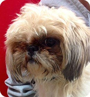 Maltese/Shih Tzu Mix Dog for adoption in Green Bay, Wisconsin - Tweety