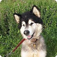 Adopt A Pet :: Valentino - Augusta County, VA
