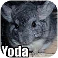 Adopt A Pet :: Yoda - Virginia Beach, VA