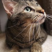 Domestic Shorthair Cat for adoption in Houston, Texas - Xavier
