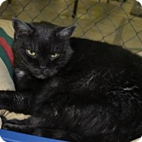 Domestic Shorthair Cat for adoption in East Smithfield, Pennsylvania - Firefly